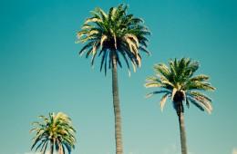 Phoenix Canariensis / Canary Island Date Palm