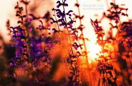 Lavendel im Sonnenuntergang