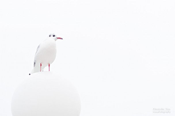 High Key Photography: Baltic Sea Gull