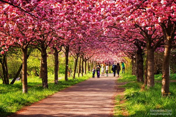 Berlin im Frühling: Kirschblüte