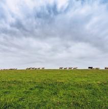 East Frisia – Sheep on the Dike