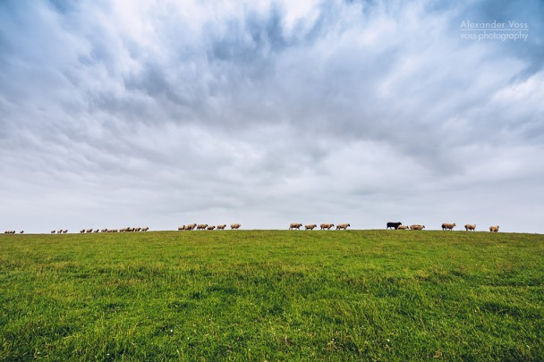East Frisia - Sheep on the Dike