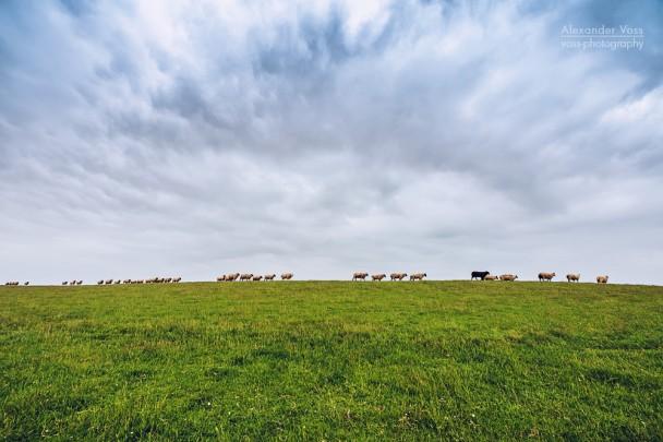 East Frisia - Sheep on the Dike