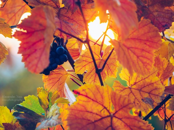Vine Leaves in Autumn